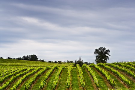 bourgogne: Grapes growing in a French vineyard