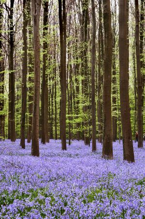 Carpet of blue wild hyacinths in the hallerbos woods in Belgium Stock Photo - 4330373