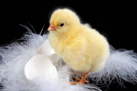 Eggs-shells, feathers and a young baby chick against a black background Stock Photo - 4363120