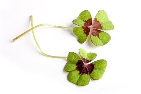 Lucky four leaf clovers Stock Photo