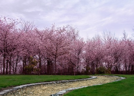 Cherry trees in a Japanese garden