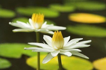Two almost identical white water lilies in a pond