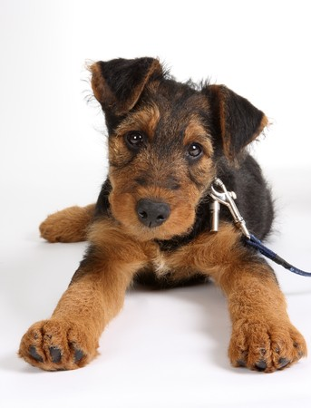 weeks: 8 weeks old Airedale terrier puppy dog