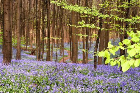 Curving road through a blue carpet of wild hyacinths photo