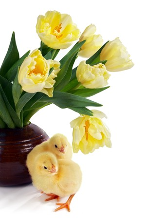 Two easter chicks, only 24 hours old, and a bouquet of yellow tulips Stock Photo - 4489464