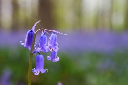 millions: Single bluebell hyacinth amongs millions in springtime Stock Photo