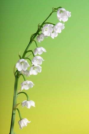muguet: Fresh twig of lily of the valley