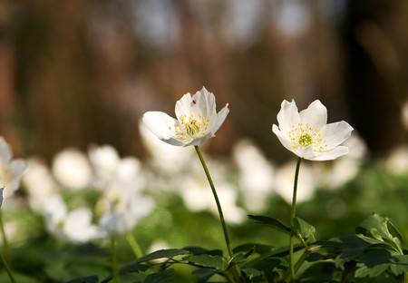 focused: Two focused wood anemones against a blurred background of hundreds of anemones