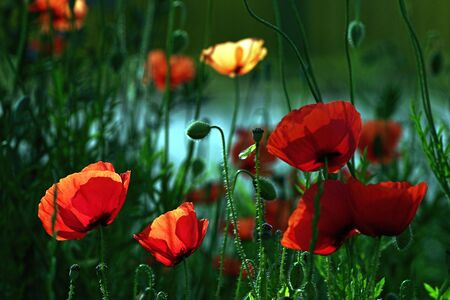 backlighting: Poppy flowers with back-lighting Stock Photo