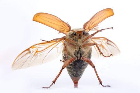 scavenging: Maybug beetle flying up against a glass window Stock Photo