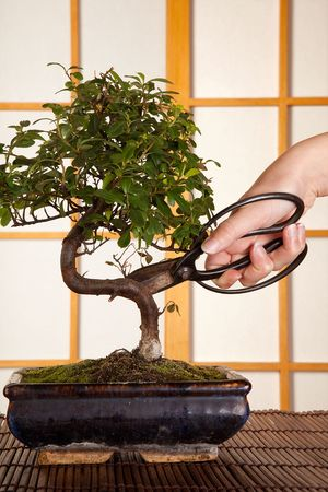 shears: Hand holding pruning shears and cutting a bonsai tree in a japanese room Stock Photo