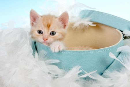 weeks: Six weeks old kitten in a soft blue hatbox Stock Photo