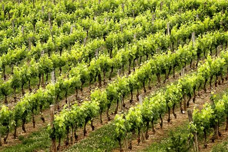 ral: French vineyard near the canal lat�ral Stock Photo