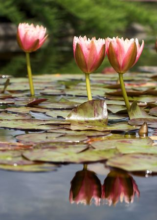 Waterlilies and their reflections in the water Stock Photo - 4722849