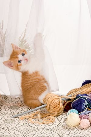 Six weeks old kitten hanging in the lace curtains Stock Photo - 4912816