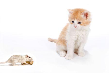 newborn rat: Six weekd old kitten surprised by a little white rat