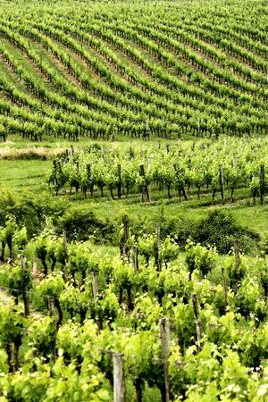 Endless rows of grapes growing in a French vineyard in Aquitaine photo