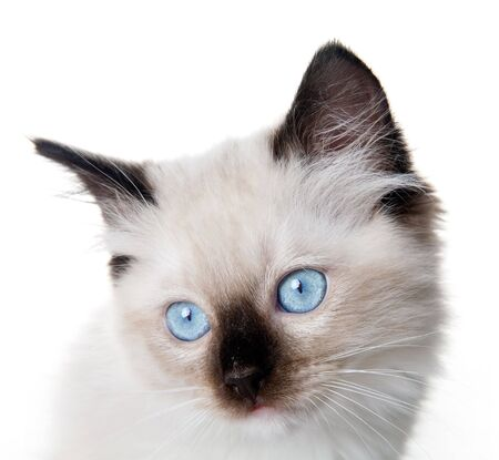 cat eye: Closeup of an 11 weeks old Seal point mitted ragdoll kitten  Stock Photo