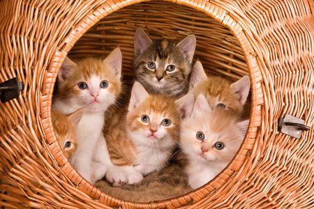 Famille de six chatons dans leur panier