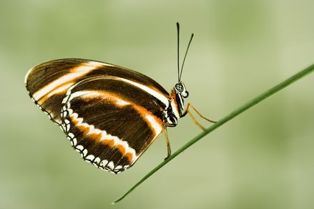 longwing: Dryadula phaetusa (Banded Longwing) butterfly Stock Photo