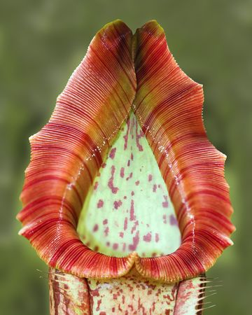 carnivorous: Close-up of a carnivorous tropical plant :  sarracenia