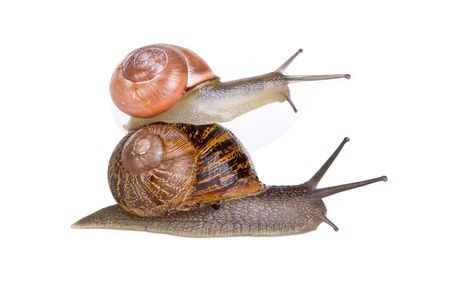 hitchhiking: Two funny snails hitchhiking on top of eachother