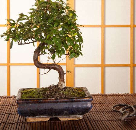 pruning scissors: Japanese interior with bonsai tree and pruning scissors
