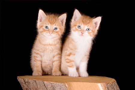 Two six weeks old kittens sitting together photo
