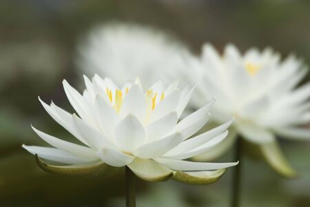 White waterlilies against a blurred background Stock Photo - 5218515
