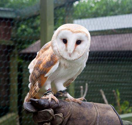 snowy owl: Closeup of a barn owl on a gloved hand