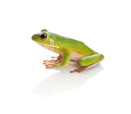 treefrog: Sitting white-lipped tree frog or Litoria Infrafrenata isolated on white