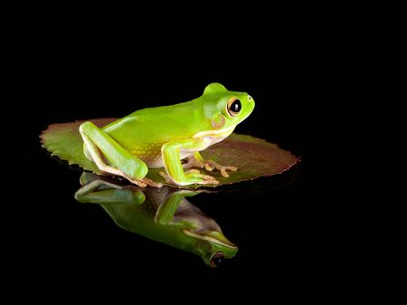 White-lipped tree frog or Litoria Infrafrenata sitting on a leaf Stock Photo - 5273815