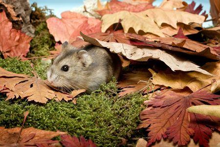 hamsters: Little gray hamster walking in autumn leaves