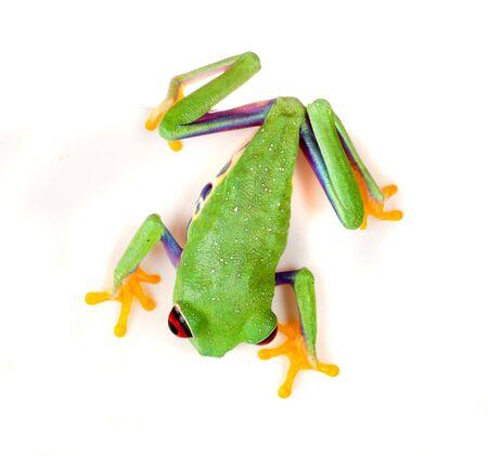 treefrog: Red eyed tree frog isolated on white