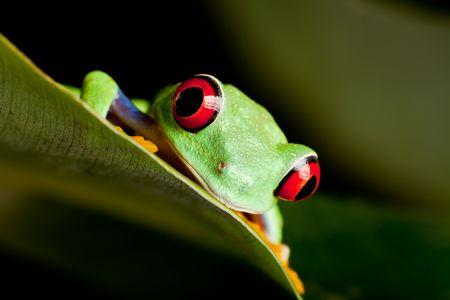 red eyed leaf frog: Red eyed tree frog on banana leaf