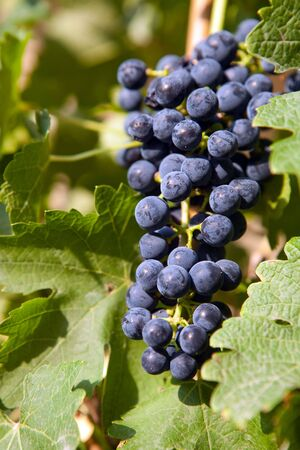 Blue grapes hanging on a vine in a vineyard photo
