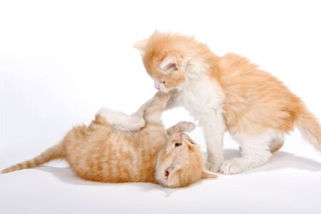 Two little red kittins having a play fight photo