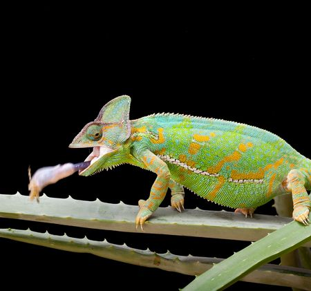 Yemen or Veiled Chameleon catching a grasshopper in a split second photo