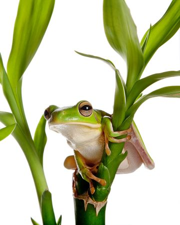 rainforest animal: White-lipped tree frog or Litoria Infrafrenata isolated on bamboo branch Stock Photo