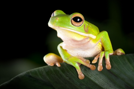 White-lipped tree frog or Litoria Infrafrenata sitting on a banana leaf Stock Photo