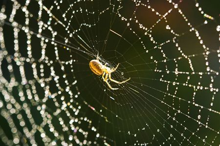 arachnophobia animal bite: Cross spider in a beautiful web with dew drops Stock Photo