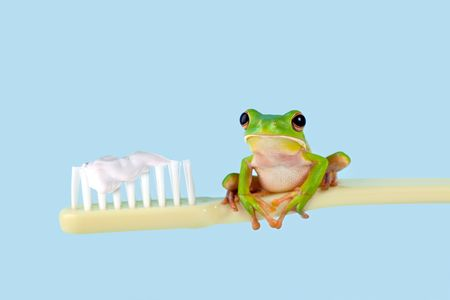 animal watching: White-lipped tree frog or Litoria Infrafrenata on a toothbrush