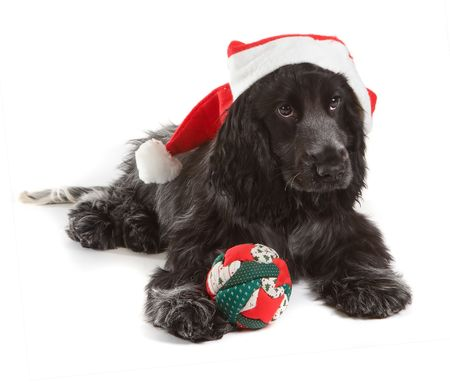 Four month old cocker spaniel puppy dog with santa hat and christmas decoration photo