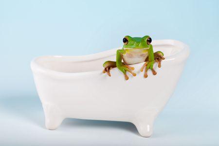 White-rana de árbol de labios o Litoria infrafrenata en un baño de