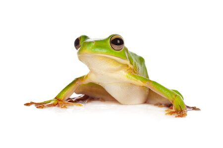 Sitting white-lipped tree frog or Litoria Infrafrenata isolated on white photo