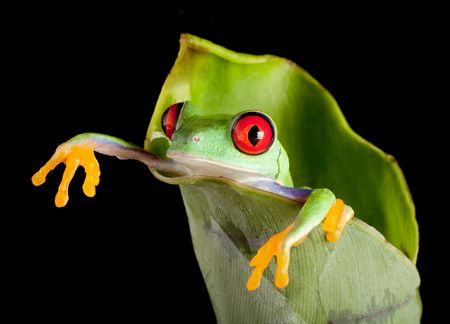 Red-eyed tree frog hanging out of a fresh banana leaf Stock Photo
