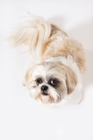 Little Shih-tzu dog looking upwards on a white background Stock Photo - 5601604