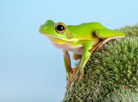 treefrog: White-lipped tree frog or Litoria Infrafrenata on moss