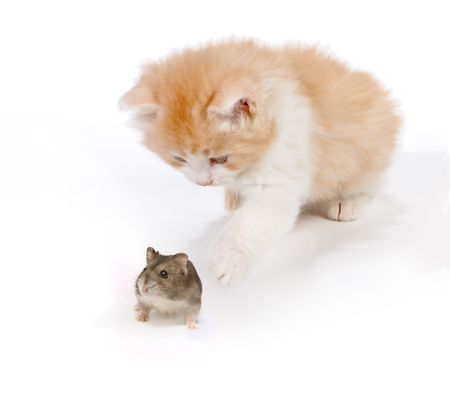 Six weeks old kitten playing with a hamster Stock Photo - 5688100