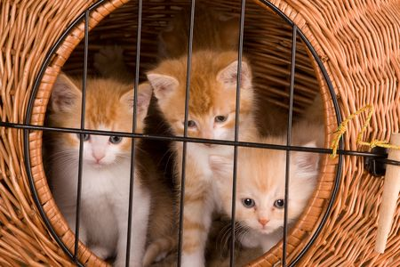 Six weeks old kittens in their own basket behind bars Stock Photo - 5722262
